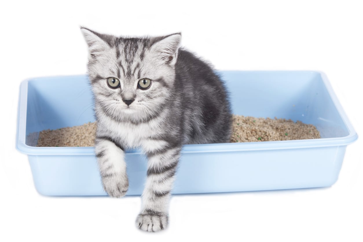 Cute kitten in litter box