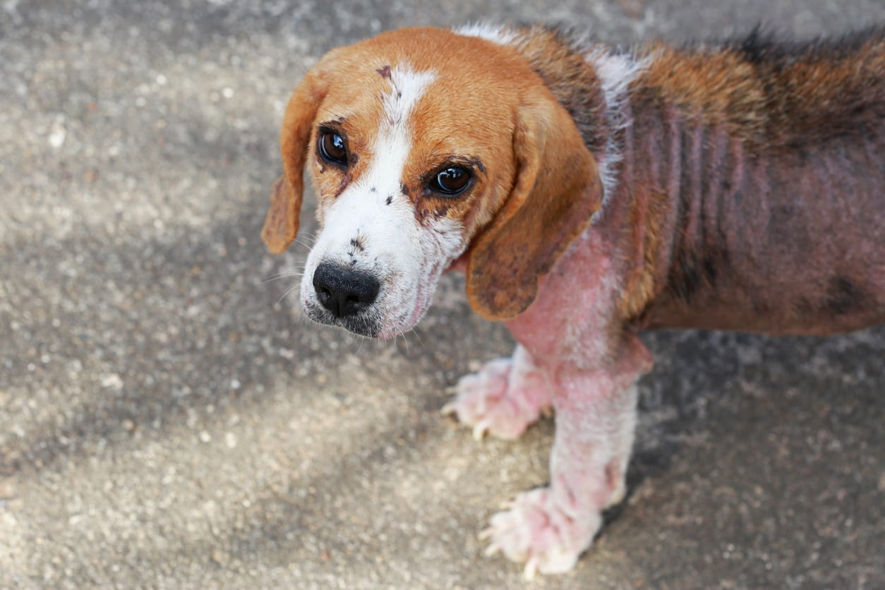 ill beagle dog with Demodicosis, Red Mange