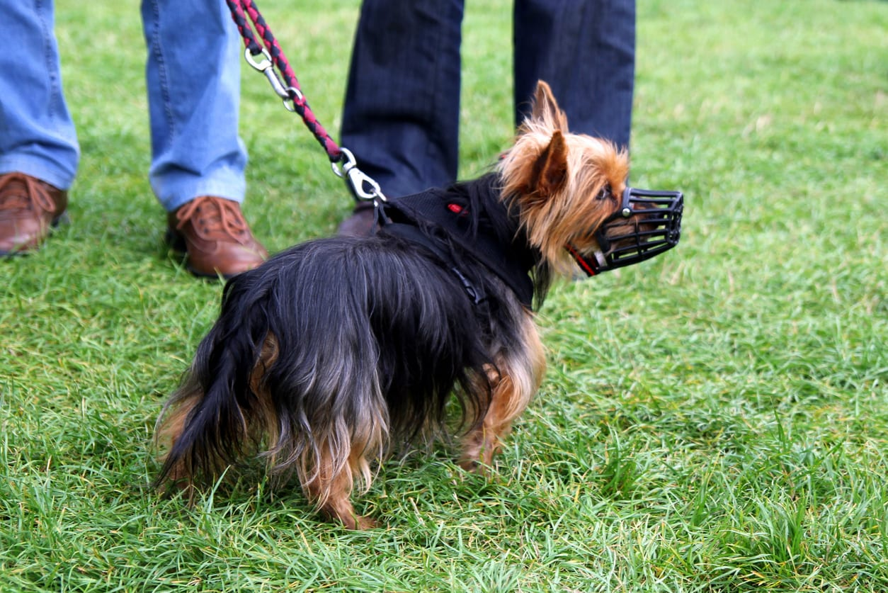 The little long-haired dog in a muzzle is walking in a park.